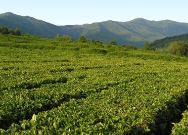 Чай растет в горных районах